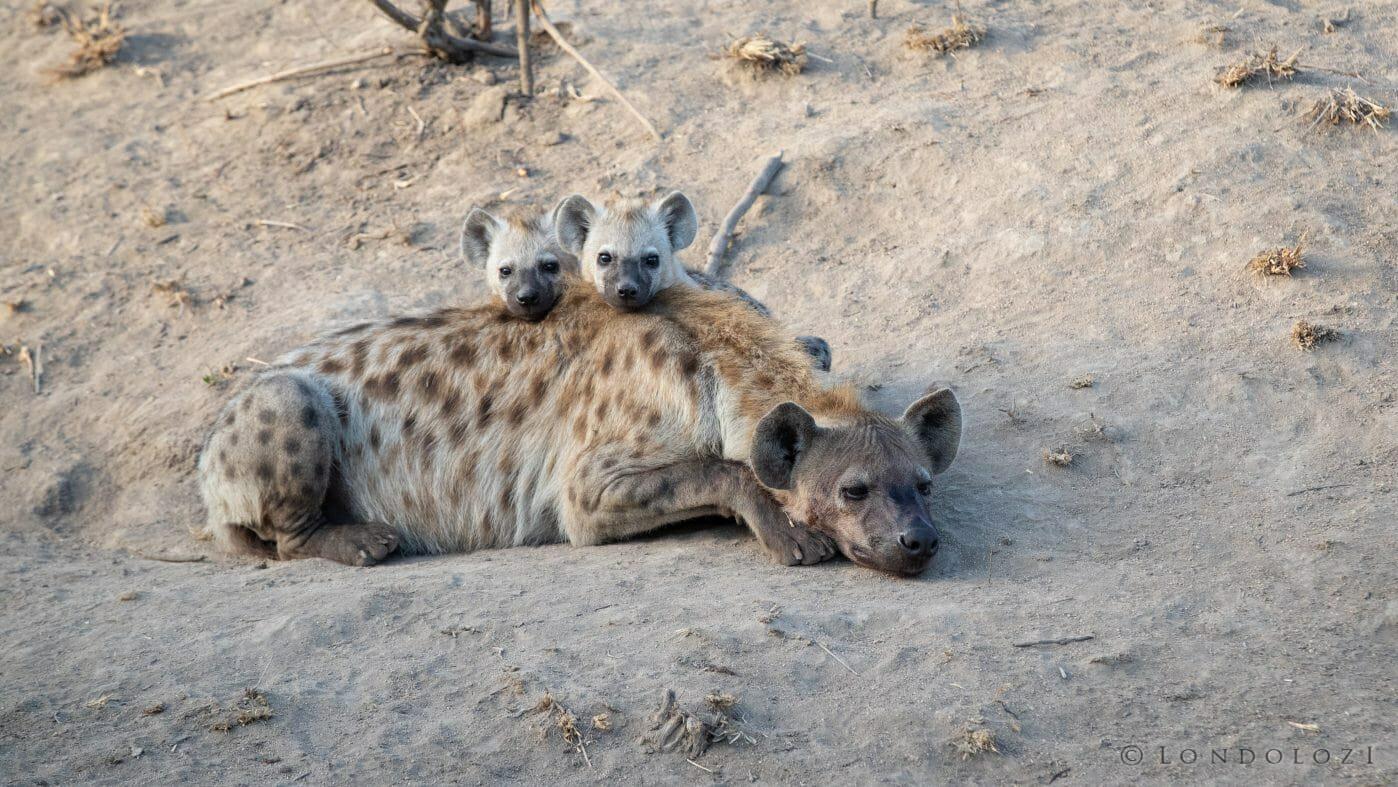 Hyenas 9