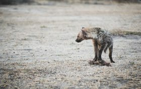 Hyenas 21
