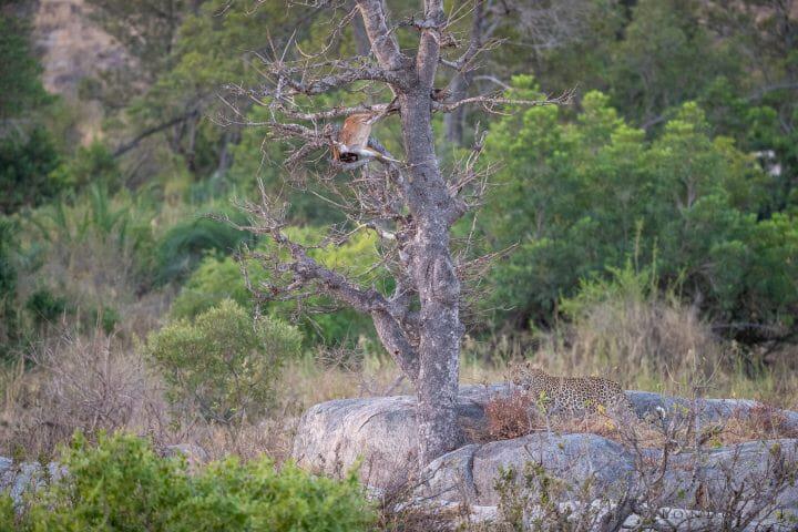Nhlanguleni Leopard Bushbuck Kill Founders 2