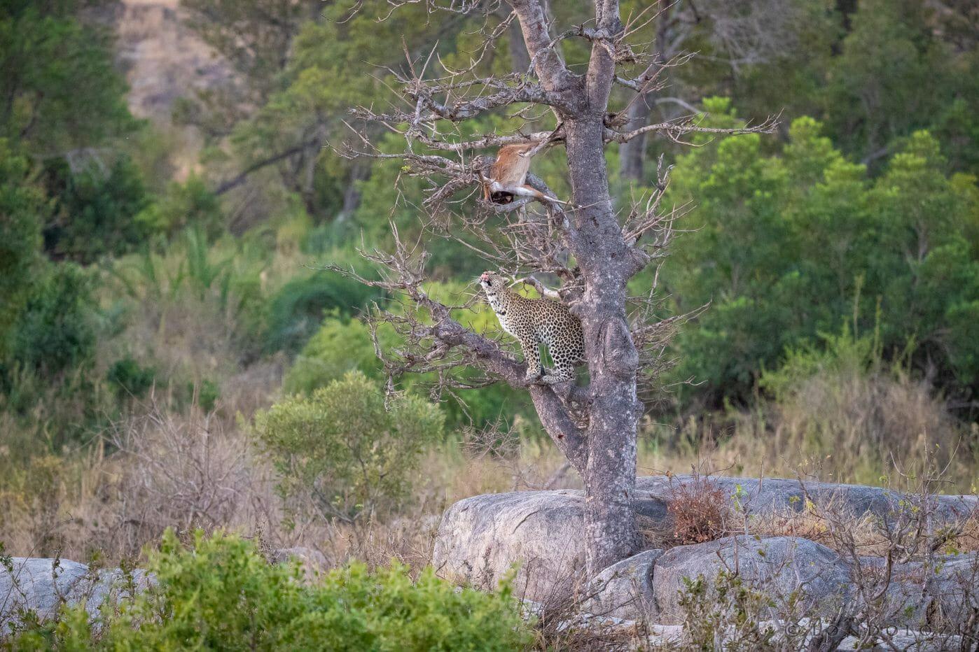 Nhlanguleni Leopard Bushbuck Kill Founders 3