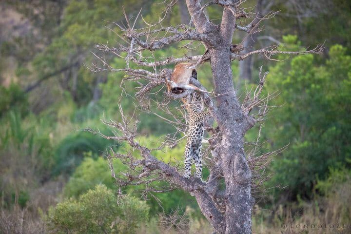 Nhlanguleni Leopard Bushbuck Kill Founders 6