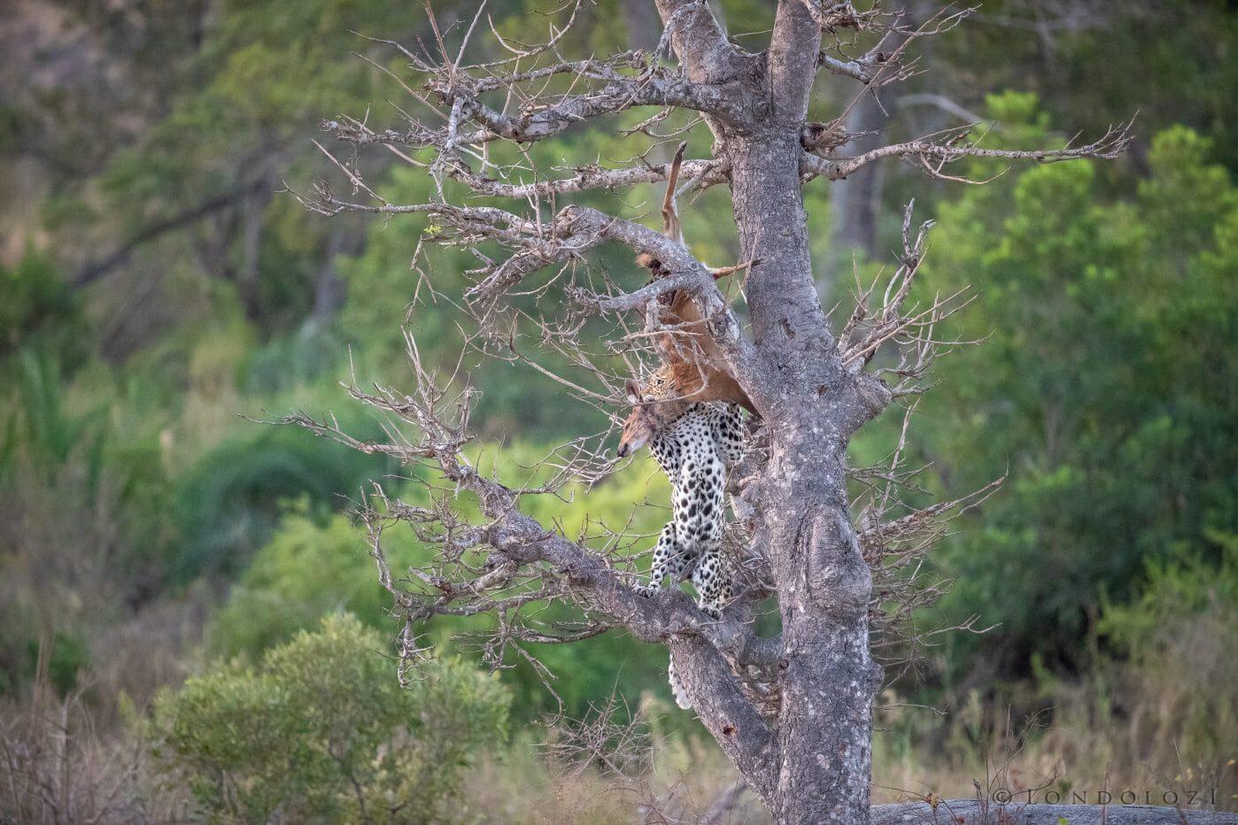 Nhlanguleni Leopard Bushbuck Kill Founders 8