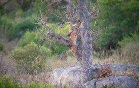 Nhlanguleni Leopard Bushbuck Kill Founders 9