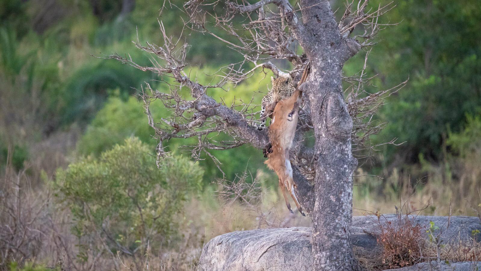 Nhlanguleni Leopard Bushbuck Kill Founders 10