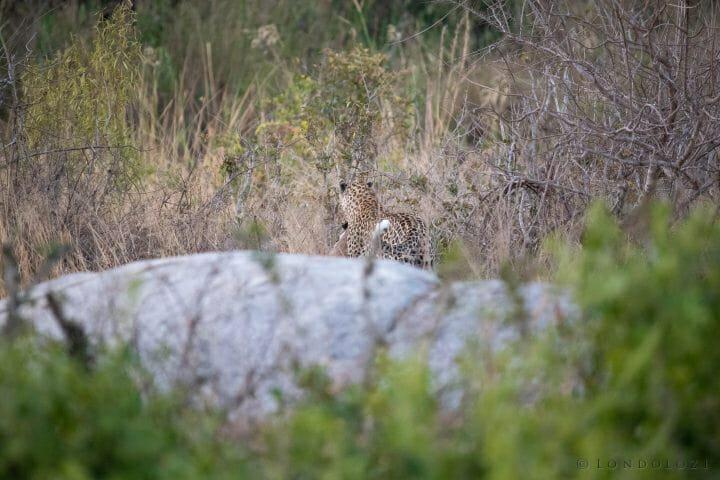 Nhlanguleni Leopard Bushbuck Kill Founders 12