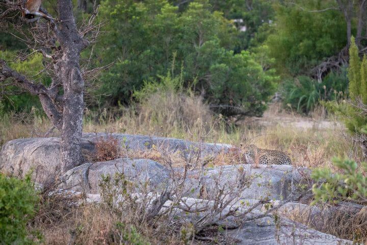 Nhlanguleni Leopard Bushbuck Kill Founders