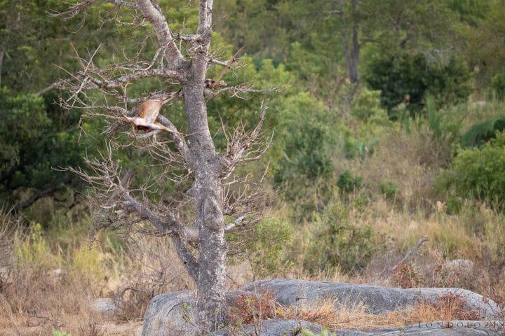 Leopard Kill Bushbuck Morning