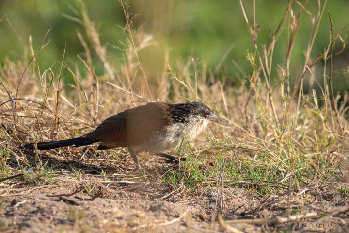 Coucal Bird
