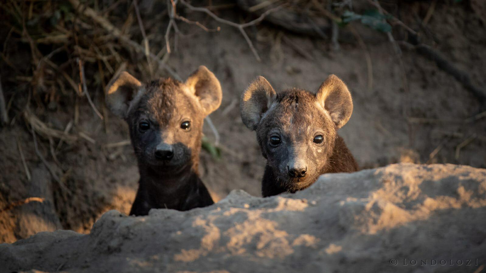 Hyena Cubs Den