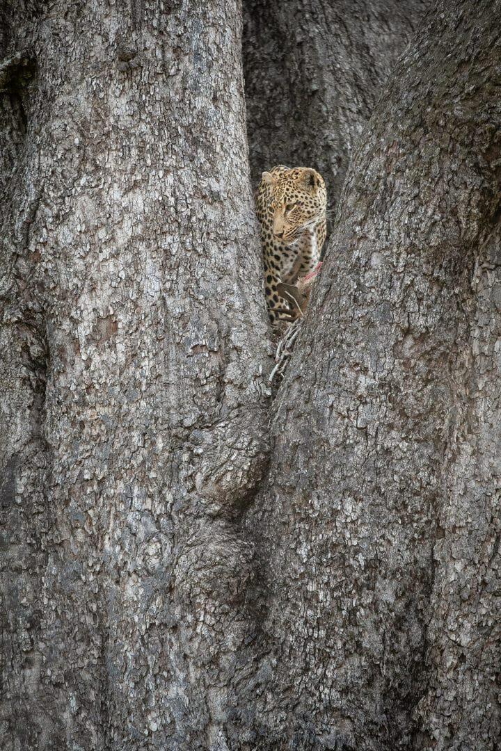 Tatowa Leopard Jackalberry