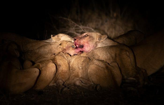 Ntsevu Lions Giraffe Feed Spotlight