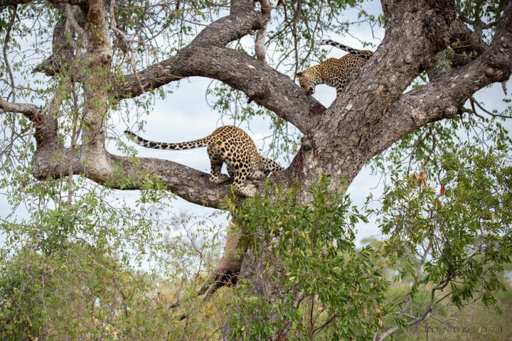 Mashaba Leopard Drop Kill
