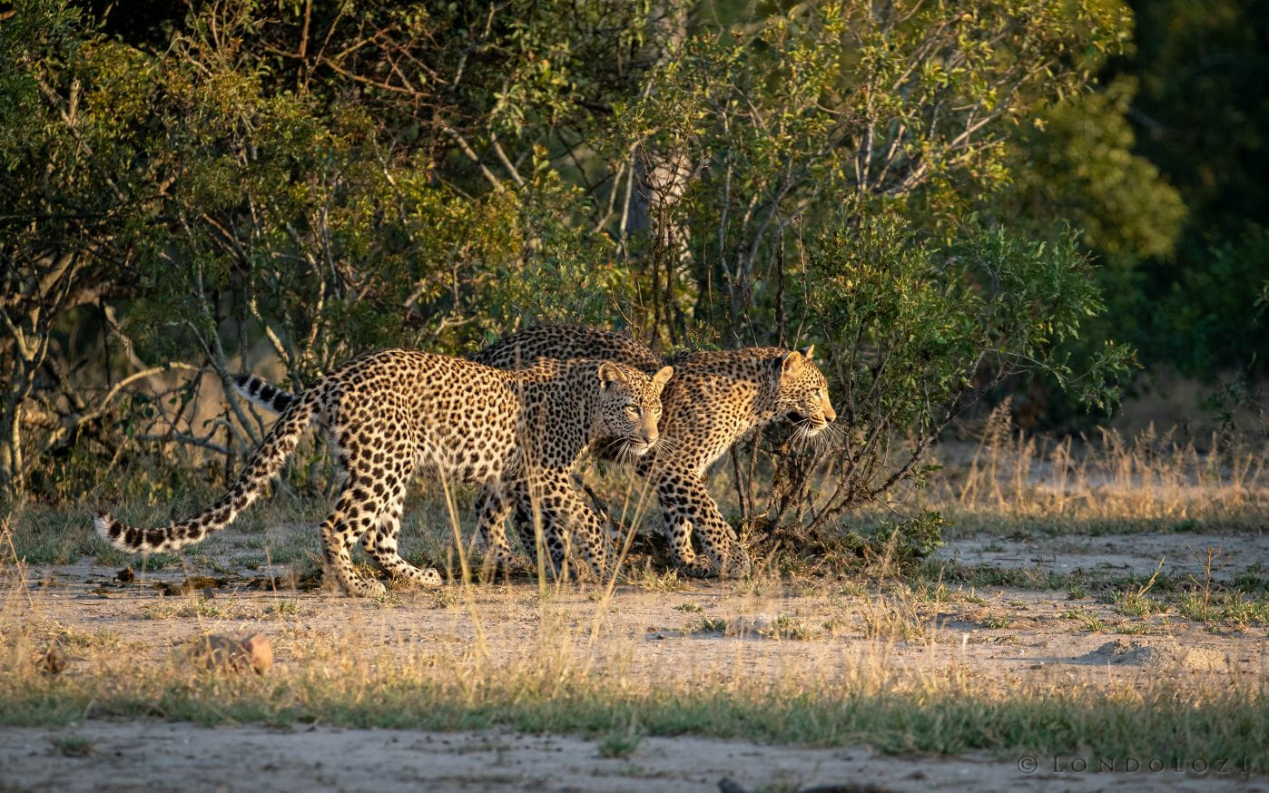 Nhlanguleni Young Female Leopards 2