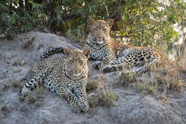 Nhlanguleni Young Female Leopards