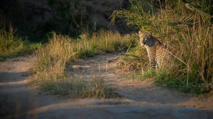 Nhlanguleni Yf Leopard