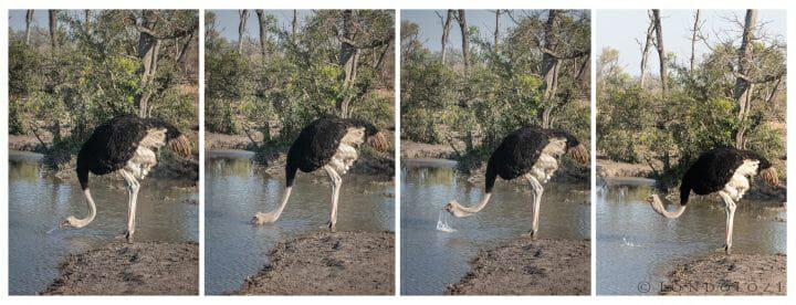Ostrich Drinking Series