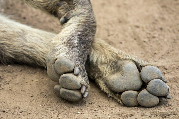 Hyena Toes Wz7tgg