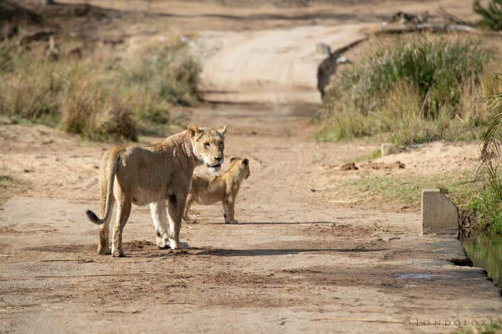 Tsalala Lion Causeway 2