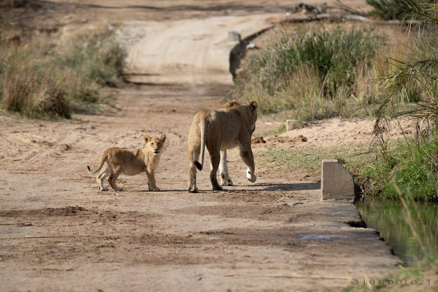 Tsalala Lion Causeway 3