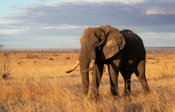 Elephant Bull Grass