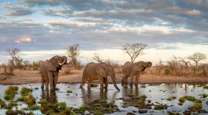 Elephant Bulls Drink