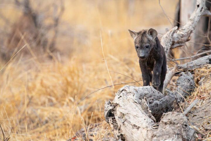 Hyena Cub Log