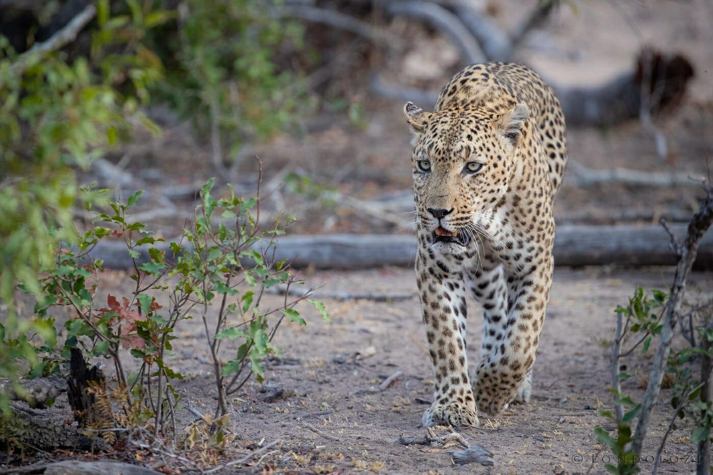 Senegal Bush Leopard