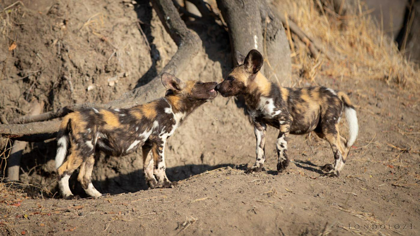 Wild Dog Puppies Greet