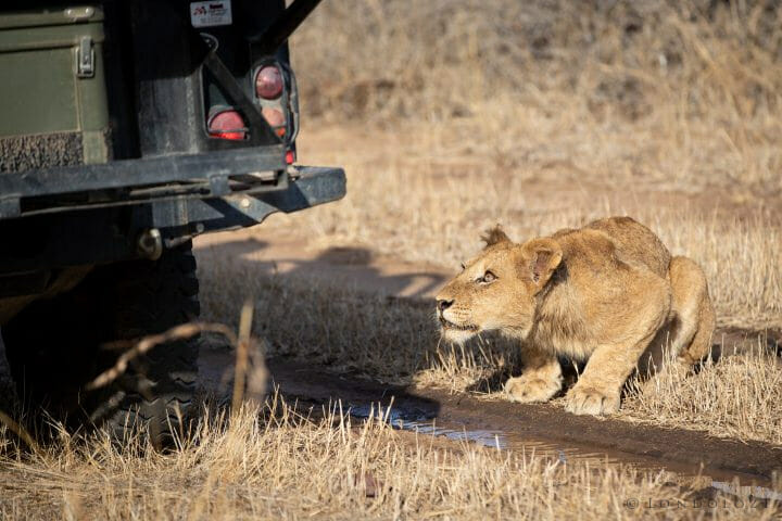 Ntsevu Lion Cub Drink