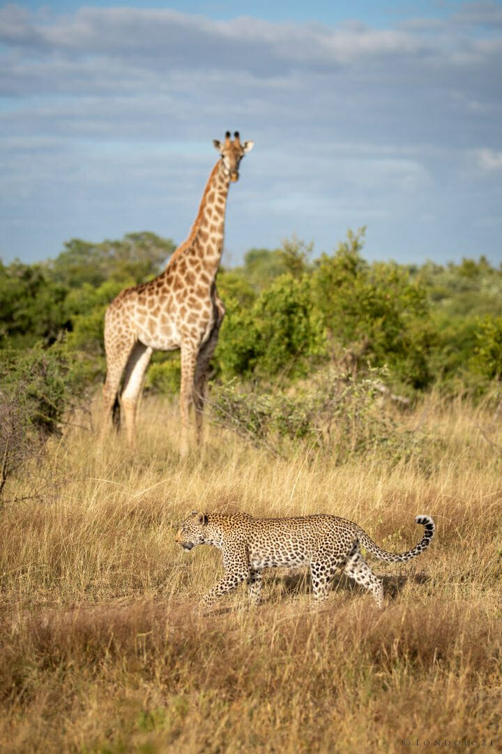 Nanga Leopard Giraffe