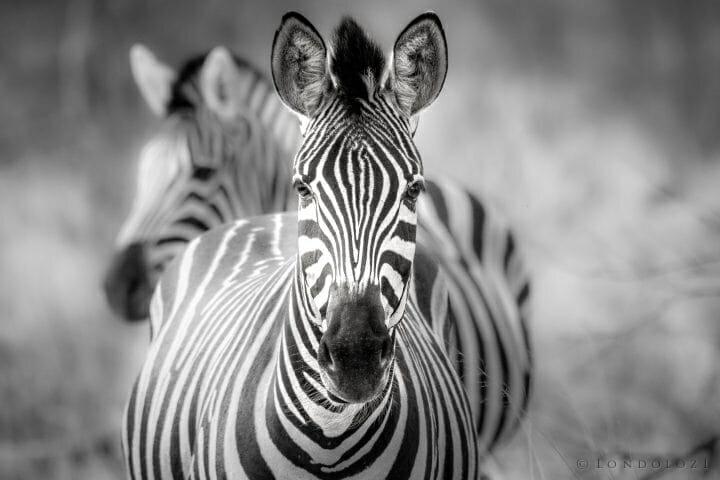 Zebra Sz
