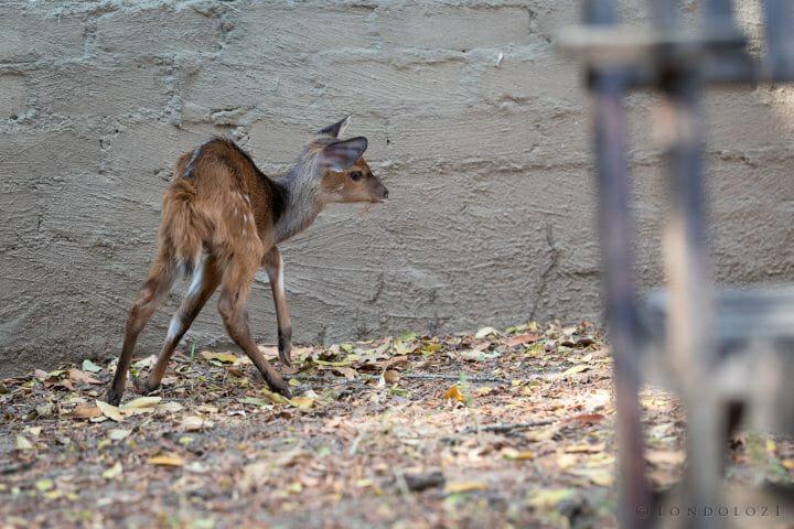 Bushbuck Lamb 2