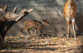 Bushbuck Lamb 4