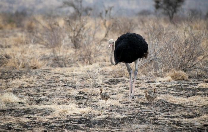 Ostrich Chicks 4