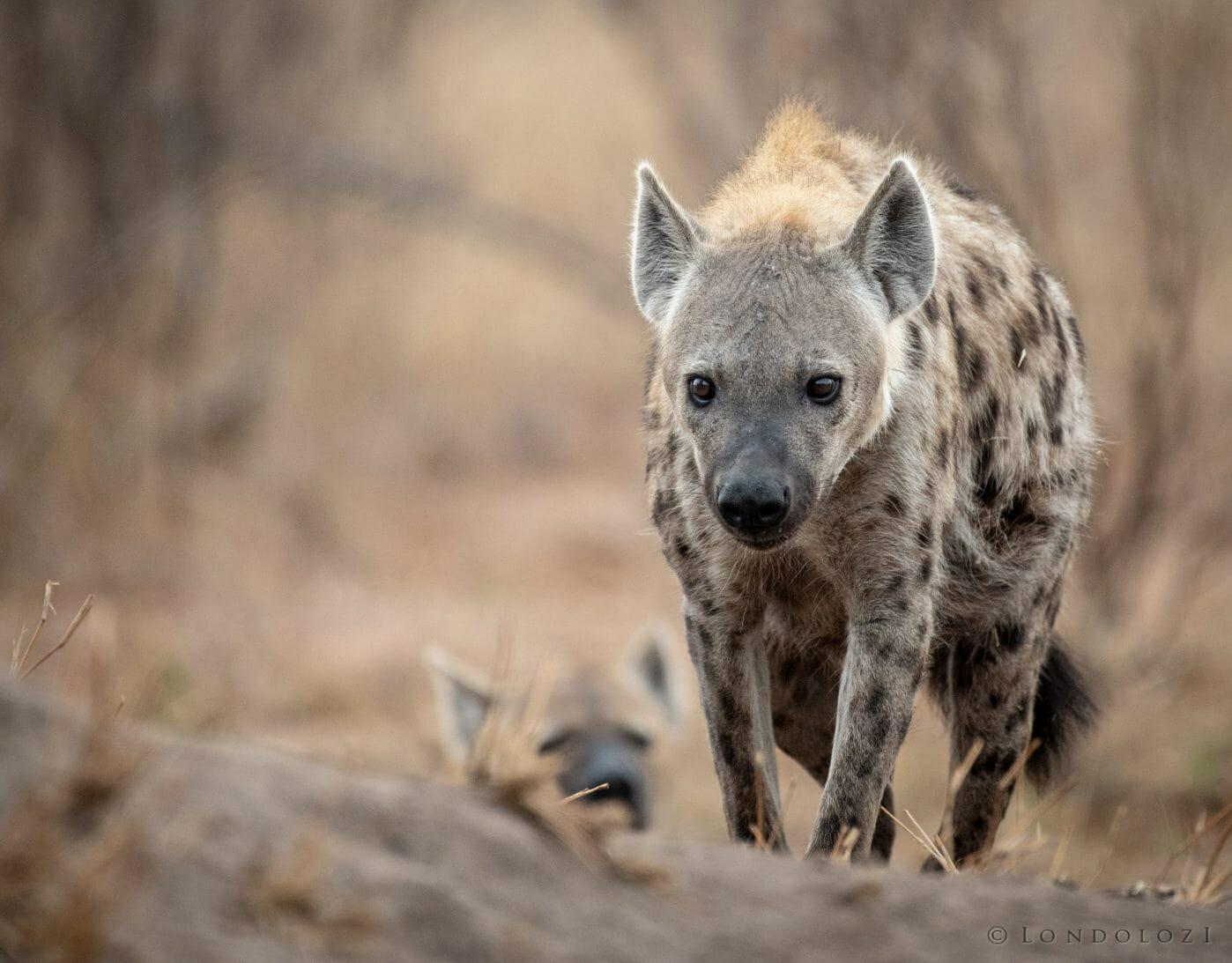 Hyena Mum1