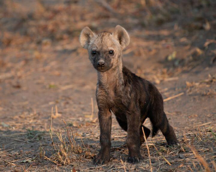 Hyena Cub9