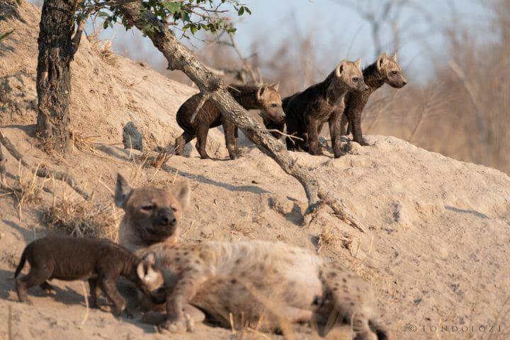 Hyena Den Scene