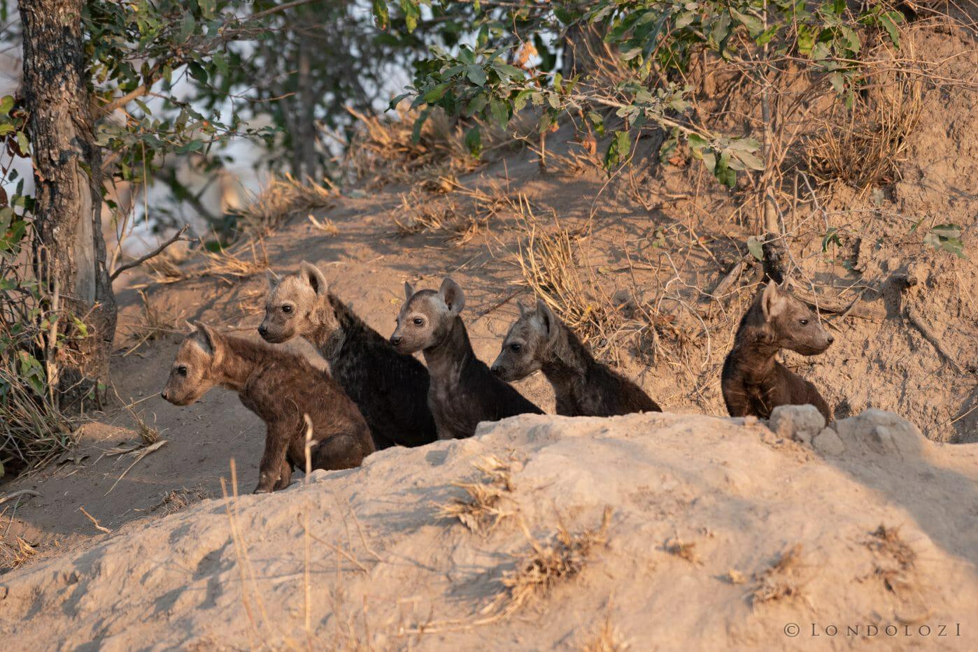 Hyena Cubs 10