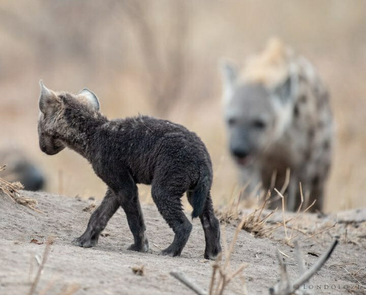 Hyena Cubs2