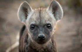 Hyena Cub6