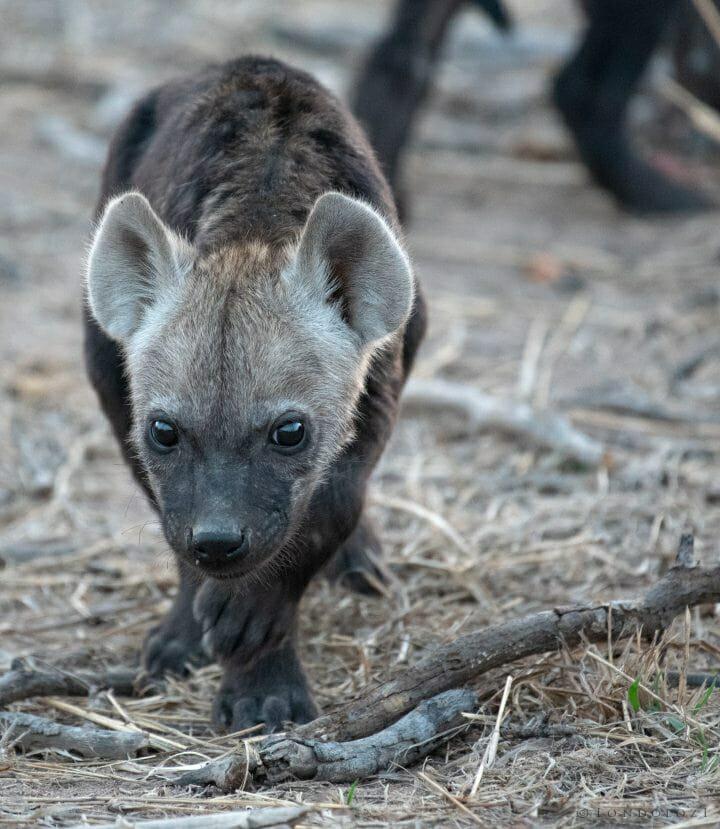 Hyena Cub4