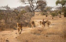 Ntsevu Lion 3