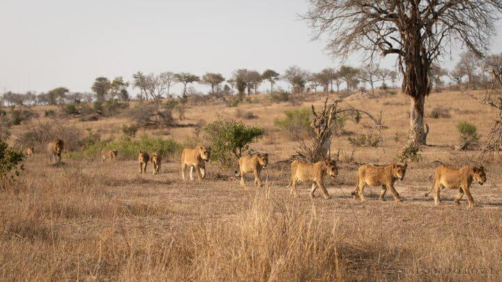 Ntsevu Lion 4