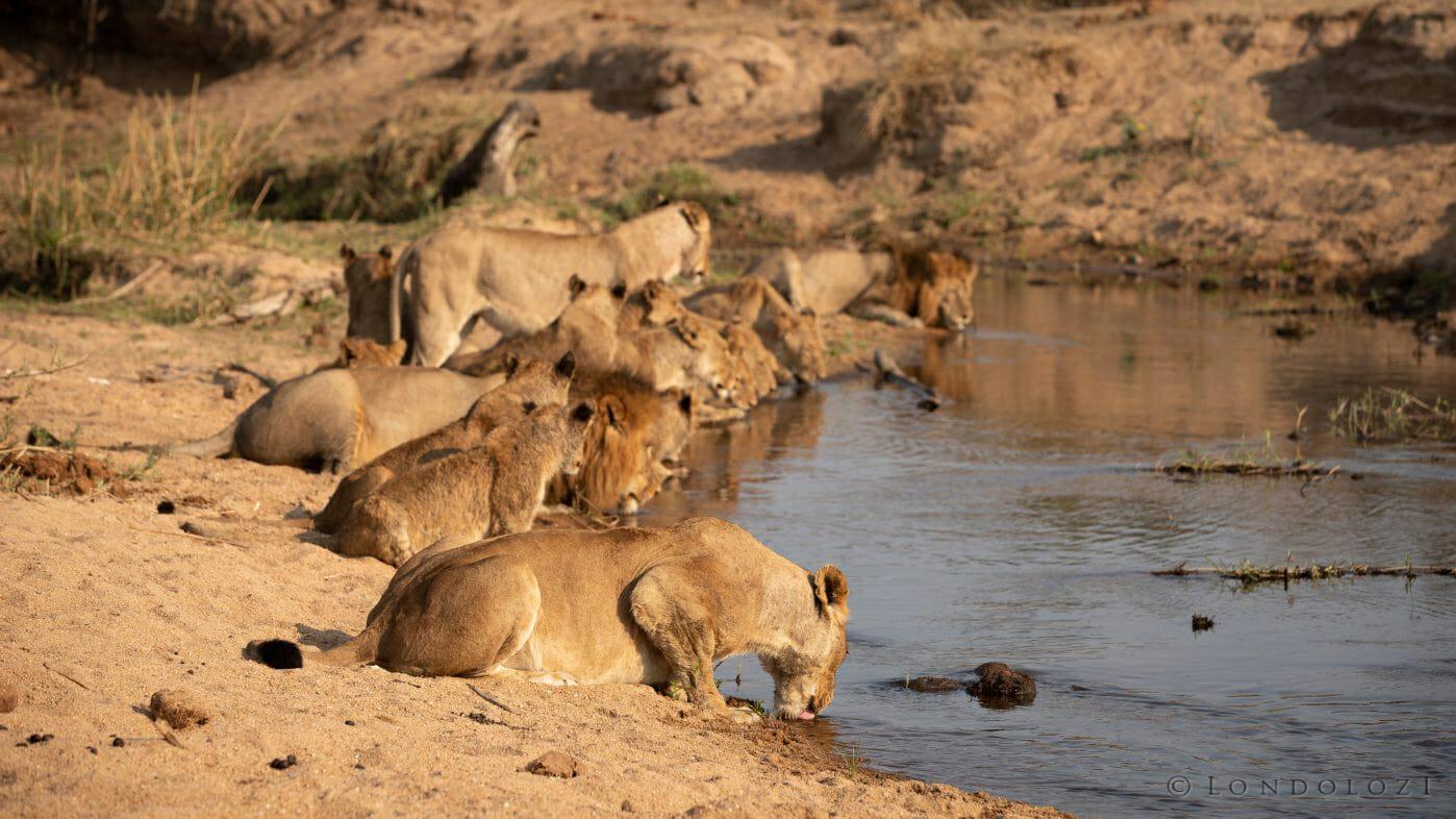 Ntsevu Lion 6