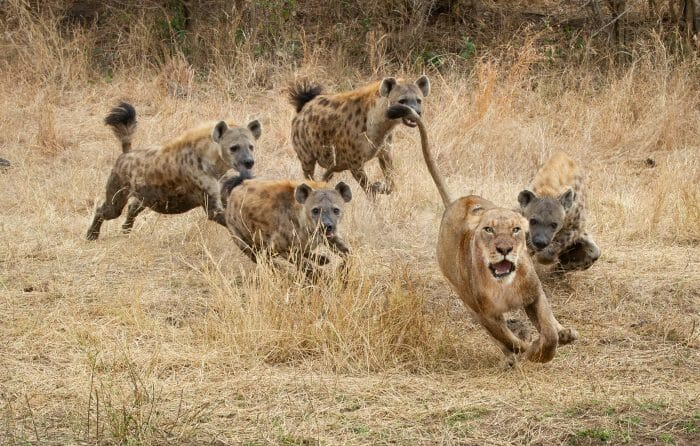 Sparta Lioness Hyena