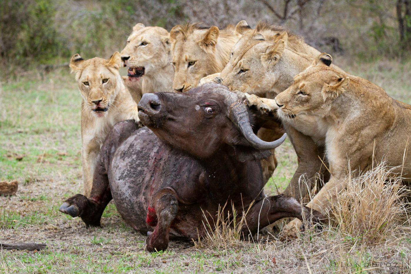 Sparta Pride Buffalo Lions