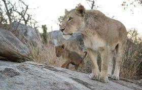 Tsalala Lioness Cubs Lion 2