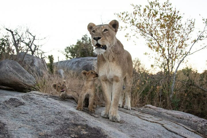 Tsalala Lioness Cubs Lion 3