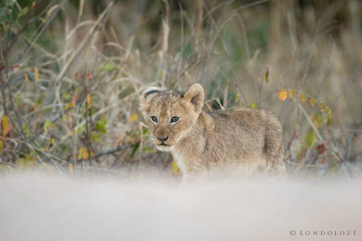 Tsalala Lioness Cubs Lion 4
