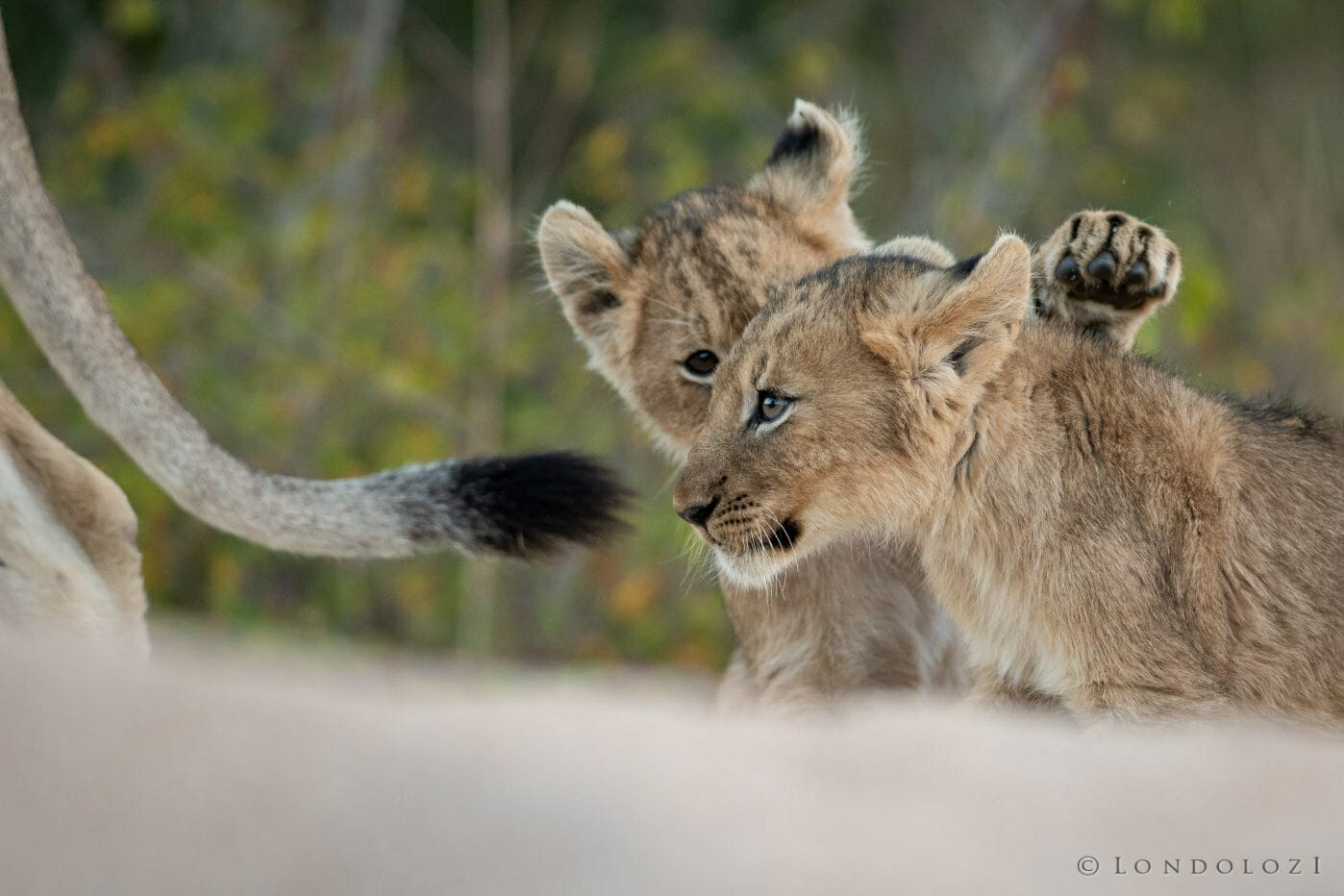Tsalala Lioness Cubs Lion 5